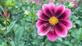 Dalia rosada en el jardín en un fondo verde Fondo de la naturaleza Fotografía de archivo libre de regalías