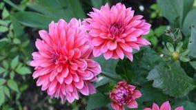 Dalia rosada en el jardín en macizo de flores almacen de metraje de vídeo