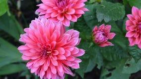 Dalia rosada en el jardín en macizo de flores metrajes