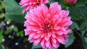 Dalia rosada en el primer del jardín almacen de video