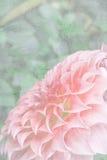 Dalia rosada en jardín Fotos de archivo libres de regalías