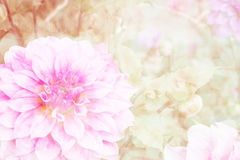 Dalia rosada en jardín Foto de archivo
