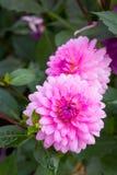 Dalia rosada en jardín Fotografía de archivo
