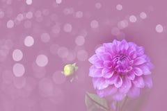 Dalia rosada en jardín Imagen de archivo libre de regalías