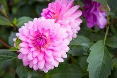 Dalia rosada en jardín Fotografía de archivo libre de regalías