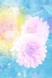 Dalia rosada en jardín Imagen de archivo