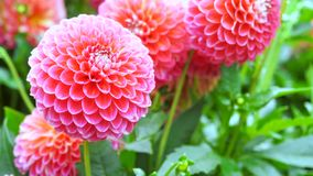 Dalia rosada hermosa del rosa de la dalia Fotos de archivo libres de regalías