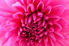 Dalia rosada magenta Foto de archivo libre de regalías