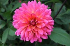 Dalia rosada viva Imágenes de archivo libres de regalías