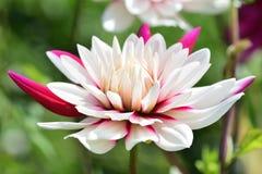 Dalia rosada y blanca Fotografía de archivo libre de regalías