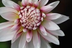 Dalia rosada y blanca Imágenes de archivo libres de regalías