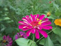 Dalia rosada y blanca Foto de archivo libre de regalías