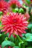 Dalia rossa di fioritura Fotografia Stock
