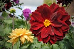Dalia rossa e gialla del fiore Fotografie Stock Libere da Diritti