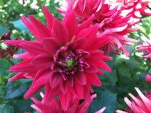 dalia Rosso, rosa e fuschia luminosi con la grande dalia concentrare verde fotografie stock libere da diritti