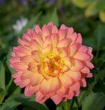 Dalia rosy. Royalty Free Stock Photography