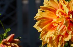 Dalia spp zapoczątkowywał w Meksyk ale w no docenia za granicą narastającą popularność rżnięci kwiaty, zdjęcia royalty free