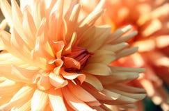 Dalia, varietà di asteraceae del crisantemo, fiori giallo arancione di colore delicato immagine stock