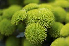 Dalia verde Imagen de archivo libre de regalías