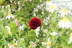 Dalia w ogródzie Obraz Royalty Free