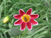 Dalia y abeja rojas Imagen de archivo libre de regalías