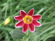 Dalia y abeja rojas Imagenes de archivo
