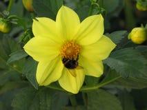 Dalia y abejorro amarillos Imágenes de archivo libres de regalías