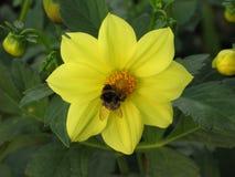 Dalia y abejorro amarillos Fotografía de archivo