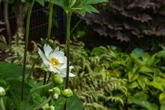 daliah in wit en geel in donkergroene tuin stock afbeelding
