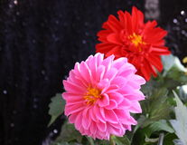 Daliahas. A red and pink dahalia flower Stock Images