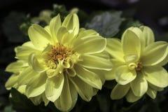 Dalias amarillas Fotos de archivo libres de regalías