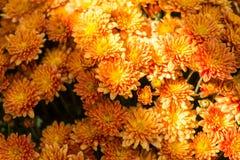 Dalias anaranjadas en el otoño Sun fotos de archivo