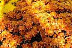 Dalias anaranjadas en el otoño Sun imagenes de archivo