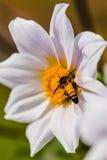 Dalias con la abeja Fotos de archivo libres de regalías