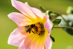 Dalias con la abeja Foto de archivo