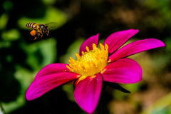Dalias con la abeja Imagenes de archivo