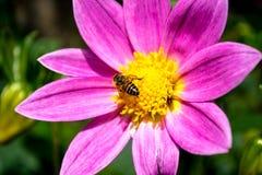 Dalias con la abeja Imágenes de archivo libres de regalías