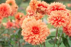 Dalias de las flores Foto de archivo