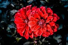 Dalias rojas agradables Foto de archivo libre de regalías