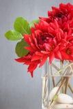 Dalias rojas en un florero Fotos de archivo libres de regalías