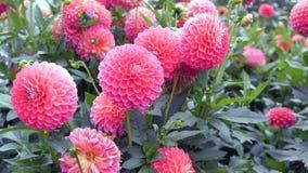 Dalias rosadas de las flores en el jardín Foto de archivo