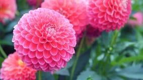 Dalias rosadas de las flores en el jardín Imagen de archivo libre de regalías