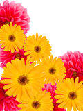 Dalie e camomiles dei fiori Fotografie Stock