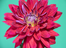 dalii kwiatu odosobniona czerwień Zbliżenie, odizolowywający na zieleni Obraz Stock
