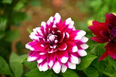 Dalii kwitnienia kwiat, kolor febra, ogród w UK obraz stock