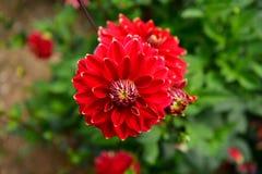 Dalii kwitnienia kwiat, kolor febra, ogród w UK zdjęcia stock