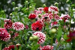 Dalii kwitnienia kwiat, kolor febra, ogród w UK fotografia royalty free