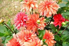 Dalii kwitnienia kwiat, kolor febra, ogród w UK zdjęcie royalty free
