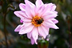 Dalii kwitnienia kwiat, kolor febra, ogród w UK obraz royalty free