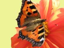dalii motyli tortoiseshell Fotografia Royalty Free